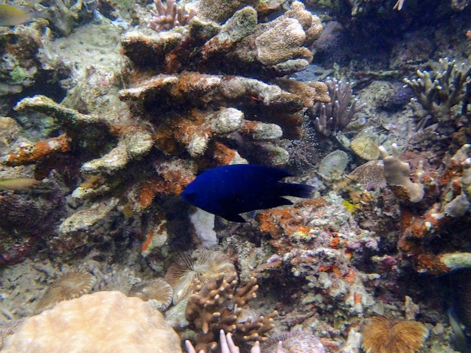 Neoglyphidodon meles (Adult Bowtie or Black Damselfish), Sand Island, Palawan, Philippines.