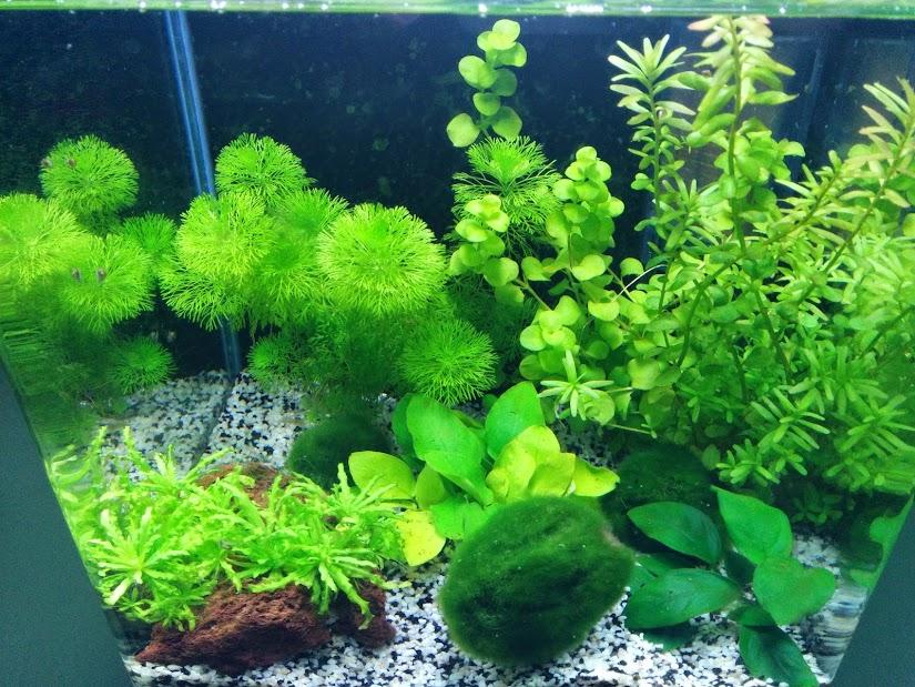 plante aquatique a croissance rapide