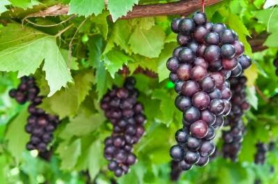 Resep membuat jus buah anggur