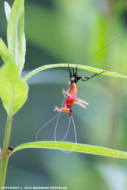 ササキリ幼虫の脱皮