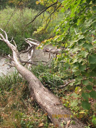 Зазвичай бобрів цікавлять не великі річки, а струмки, де будувати греблю набагато легше!