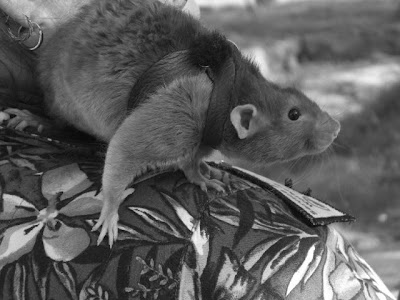 A New Kind Of Service Animal Rats Kings River Life Magazine
