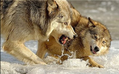 """A Cherokee Proverb, """"The Two Wolves"""""""