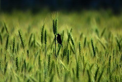 小麥練習曲