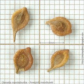 Clematis mandschurica - Powojnik mandżurski