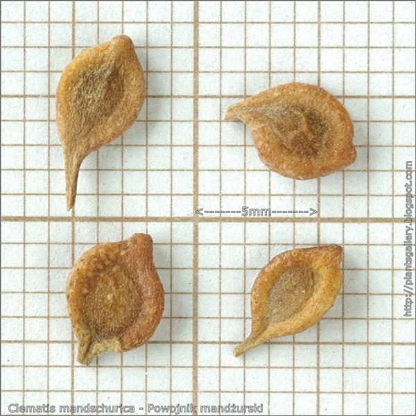 Clematis mandschurica seeds - Powojnik mandżurski nasiona
