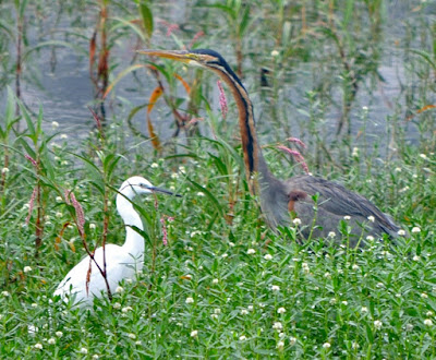 30-Sep-2011 Little Egret with Purple Heron Pic: Sujesh S.