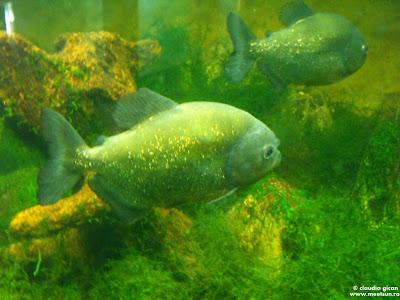 pesti la gradina zoologica: piranha
