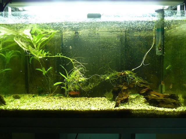 Ma petit histoire Aquariophile de 2009 à aujourd'hui  P1020569