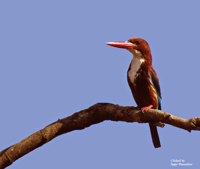 White Throated Kingfisher