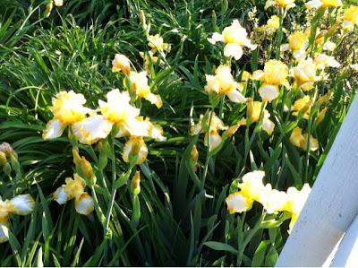 flowers, garden, flower, floral, iris