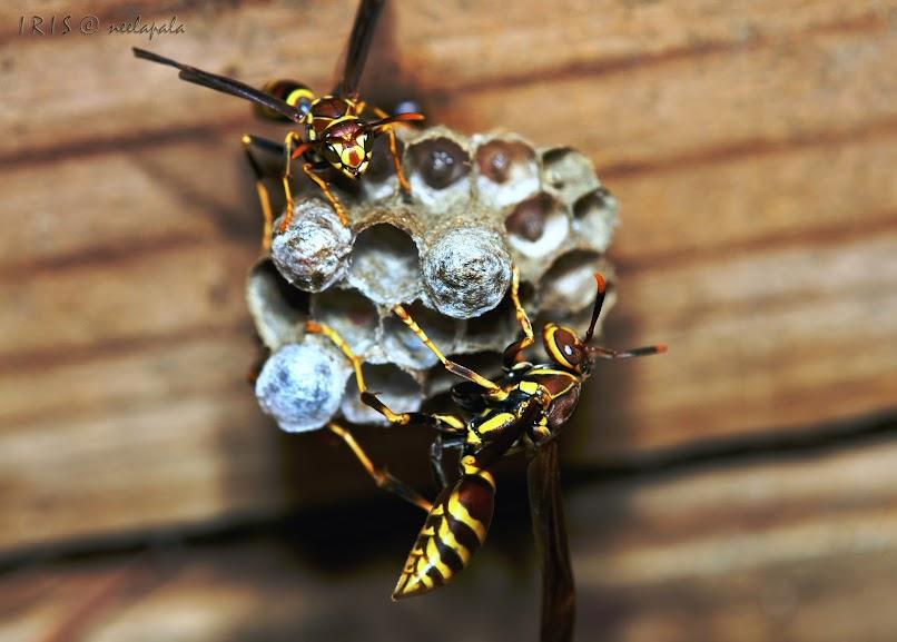 Wasps, Yellow Jackets, Wasps at home