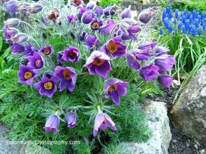 lavender pulsatilla flowers