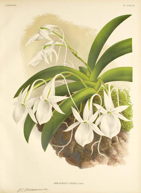 Растения из Тюмени. Краткий обзор Angraecum_leonis