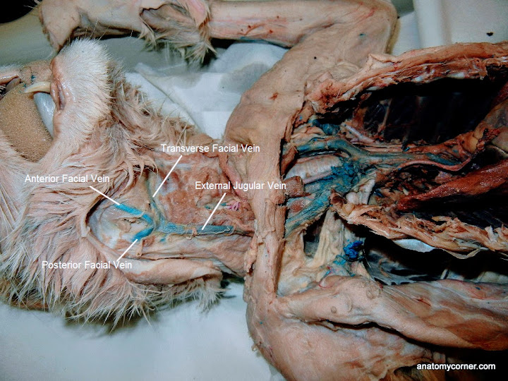 Cat Virtual Dissection (Vessels) | Anatomy Corner