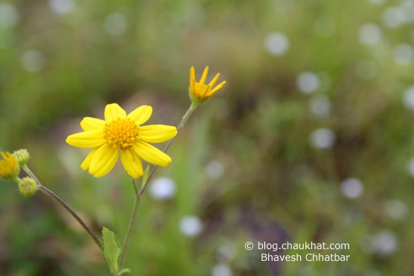 Daisies of Kas Plateau