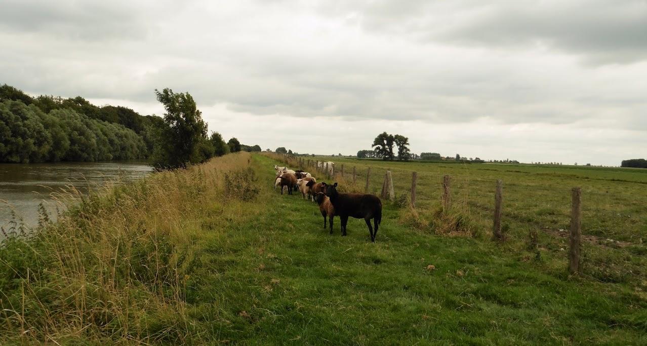 kudde schapen langs het Ieperleekanaal