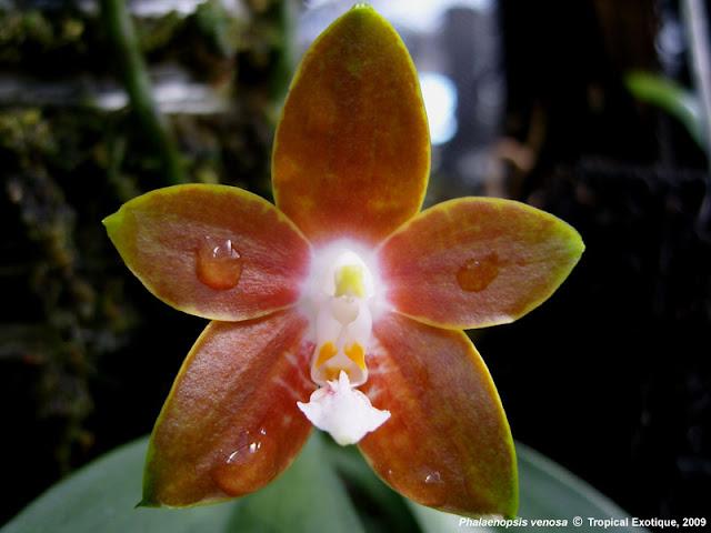 Растения из Тюмени. Краткий обзор - Страница 7 Phalaenopsis%252520venosa