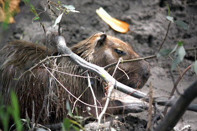 Capybara in Tambopata in the Amazon in Peru