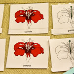 Here is another activity for parts of the flower. This time, it's from one of our Spanish immersion Montessori classrooms, so all the labels are in Spanish!