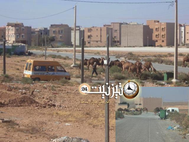 قطيع من الإبل يغزو شوارع الضفة الشرقية بتيزنيت/ مرفق بصور