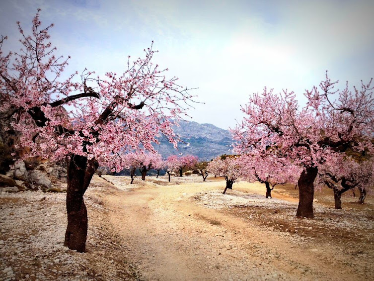 Almendros en flor en la Sierra de Aitana