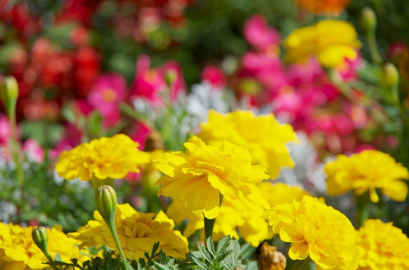 大通公園を飾る花達