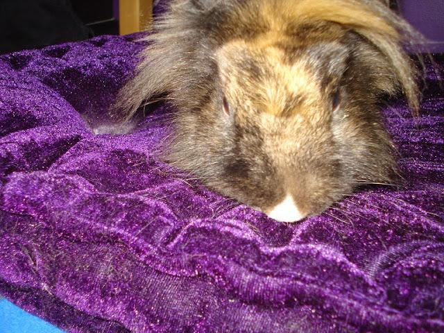 [adoptée]-Nala, lapine noire et marron, avec le bout du nez blanc Nala26%2520-%2520Copie