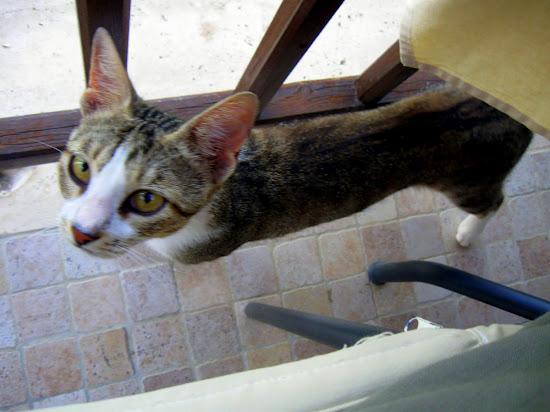 grecki kociak wyczekujący na obiad