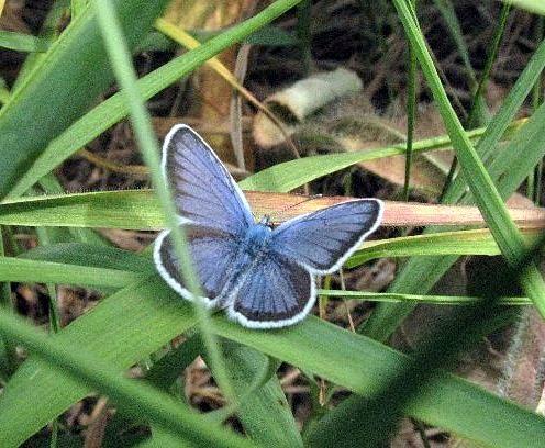 Голубой мотылек