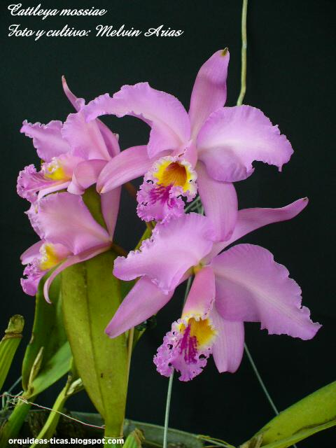 Растения из Тюмени. Краткий обзор - Страница 2 Cattleya%252520mossiae