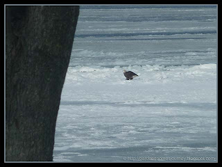 bald headed eagle on ice