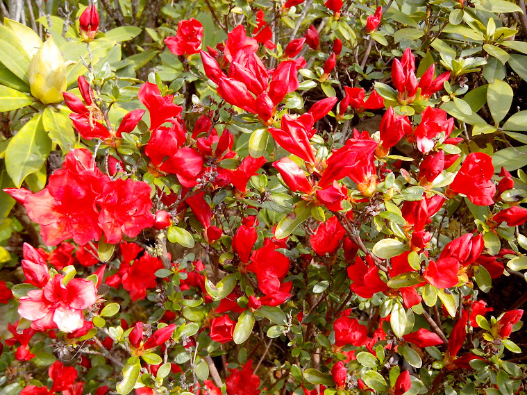 Rhododendrons et Azalées IMG_20140426_144848