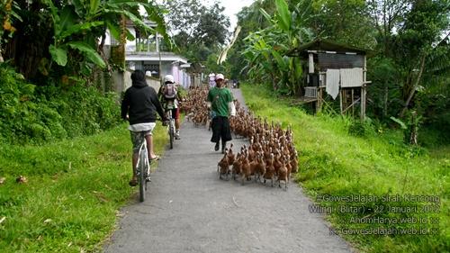 Masuk pemukiman warga, kami disambut rombongan itik yang menuju sawah