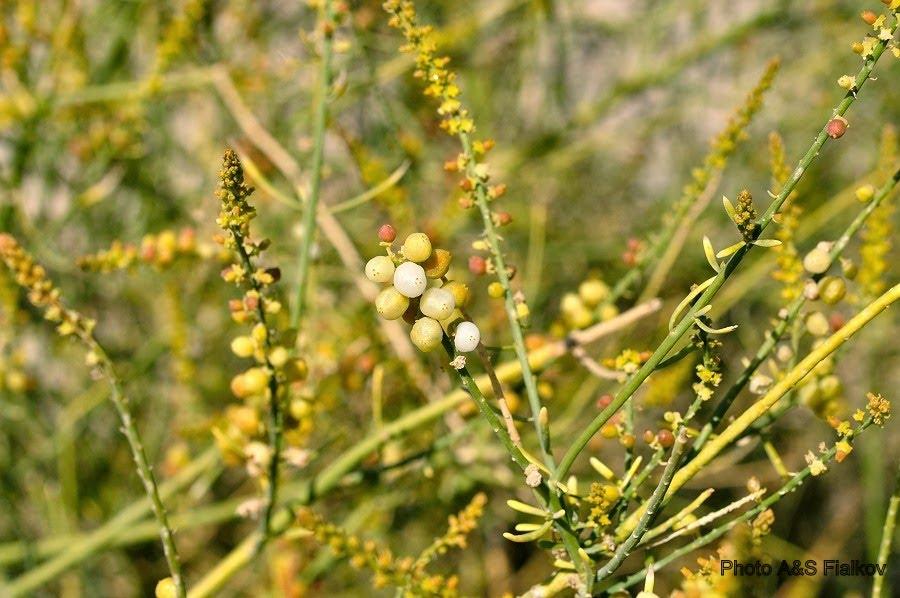 Рихпитан (Ochradenus) - растение пустыни Негев