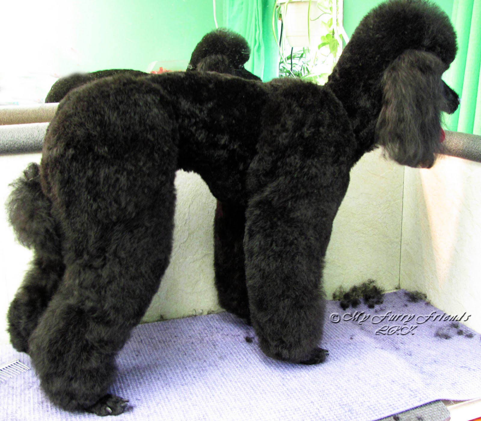 Pet Grooming The Good The Bad The Furry Poodle Retrievertown