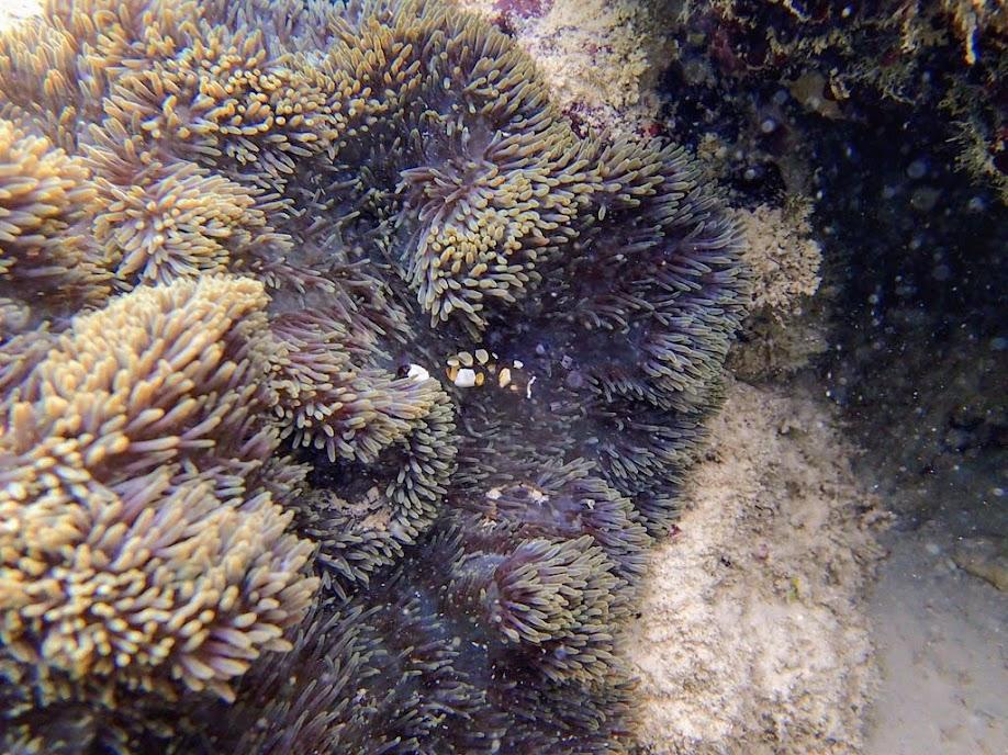 Periclimenes brevicarpalis (Anemone Shrimp), Miniloc Island Resort reef, Palawan, Philippines.
