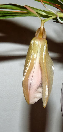 Coelogyne speciosa P1360971