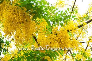 Ký ức mùa hoa bọ cạp vàng