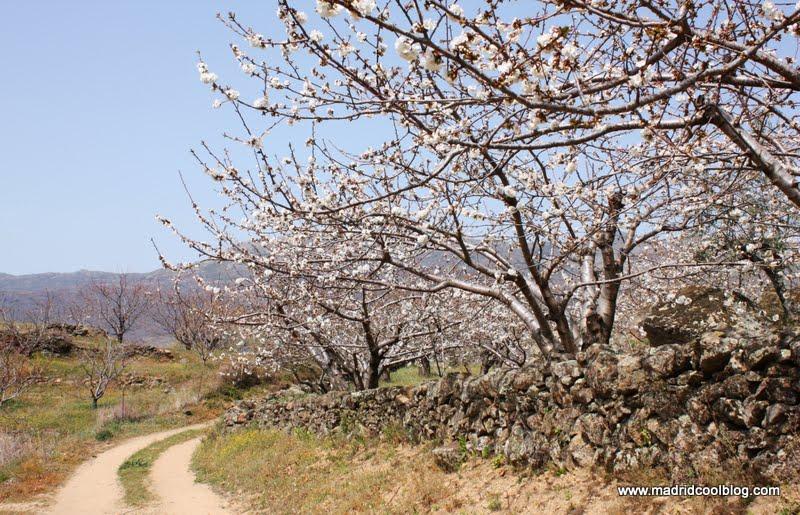 MADRID COOL BLOG escapada al valle del jerte floración de los cerezos 2012 abril mayo cerezos en flor cáceres escapada de fin de semana desde madrid