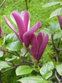 200px-Magnolia_liliiflora3