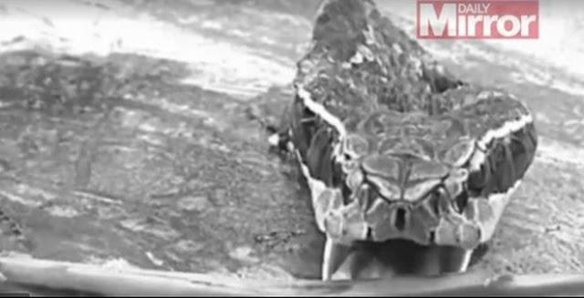 Sau khi bị cắt lìa thân, đầu rắn vẫn có thể tấn công cực kỳ nguy hiểm.