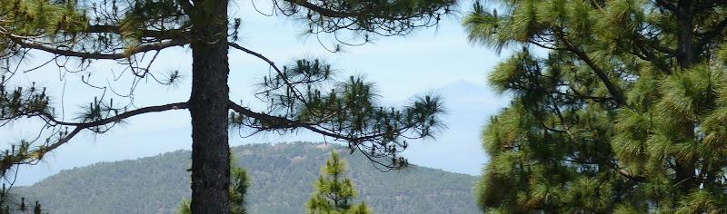 Teide zwischen Bäumen