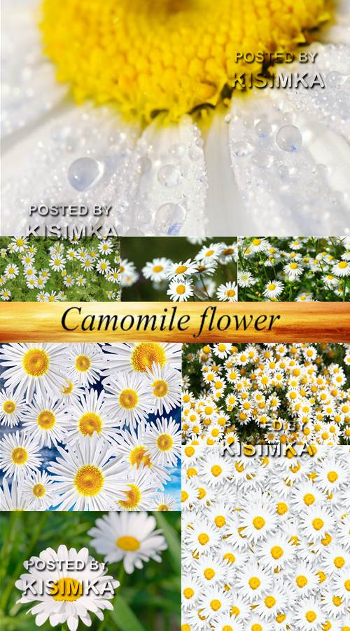 Stock Photo: Camomile flower 9