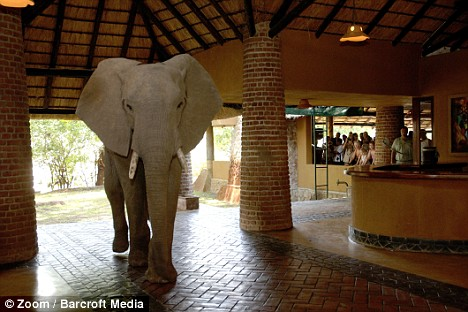 Elephant Migration Through Hotel in Zambia