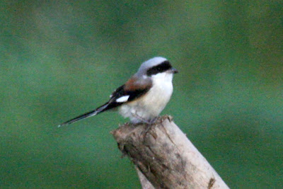 08-Oct-2013 Bay-backed Shrike Pic: Gopinath Subbarao