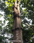Sterculia campanulata