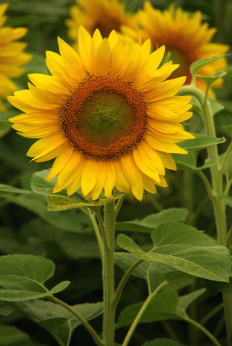 Flores que sanan el alma Sunflower