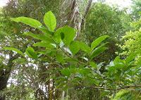 https://lh5.googleusercontent.com/-8eoPxSJO0aM/T92kVeFqBiI/AAAAAAAAAlg/ryAxtDk30A8/s1600/web-+leaves+of+small+tree+with+small+white+fragrant+flowers-2.jpg
