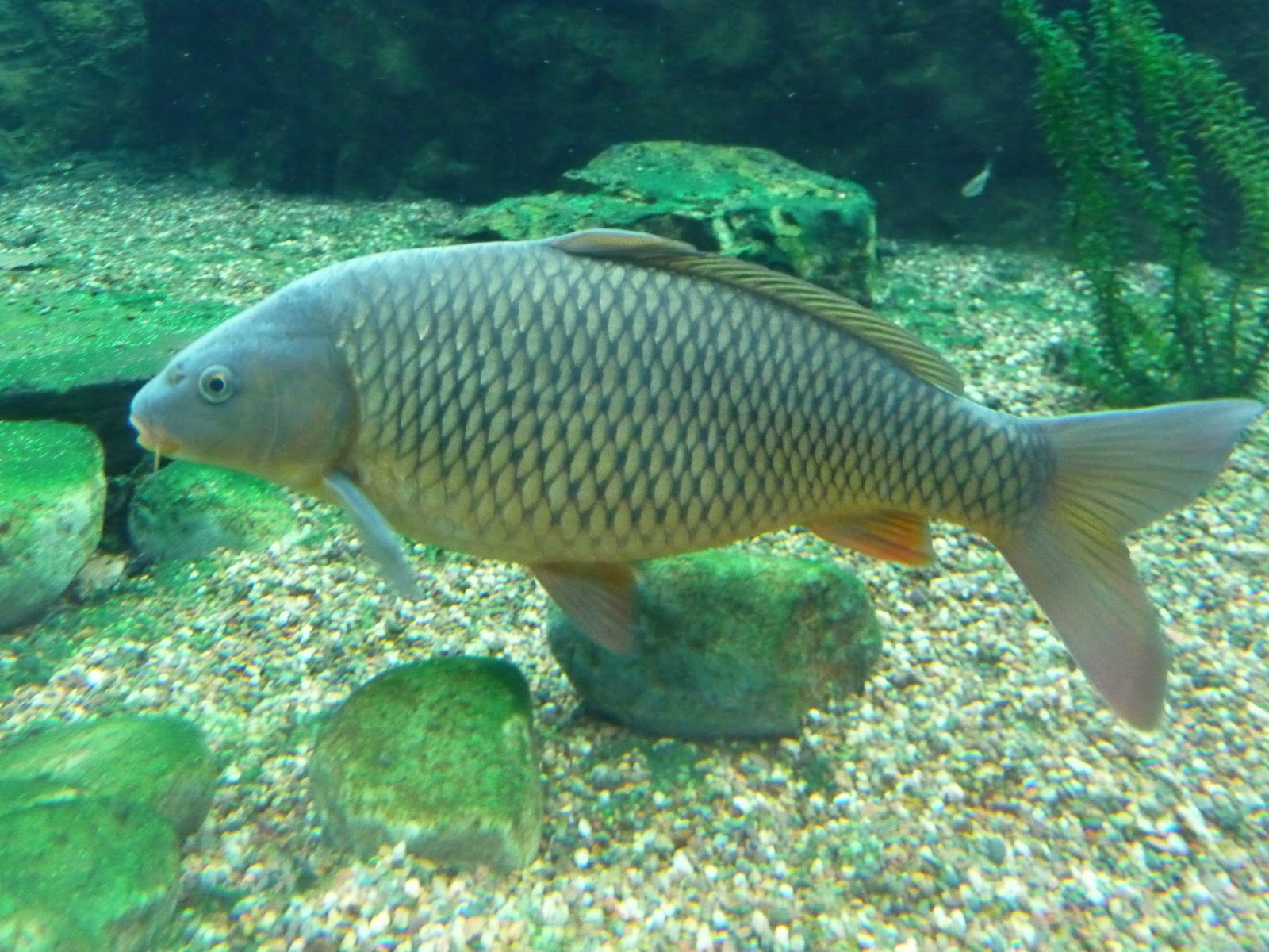Carp Fish Habitat